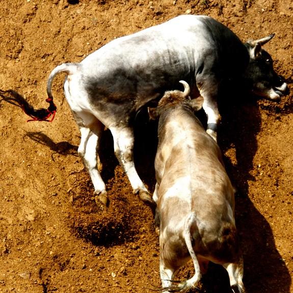 Fotografija sedmice: Bullfight
